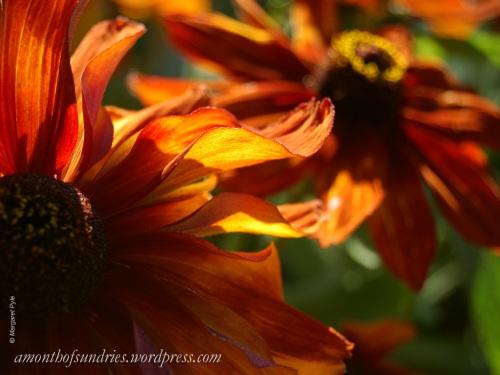 Bright orange flowers glow like flames in the sun.