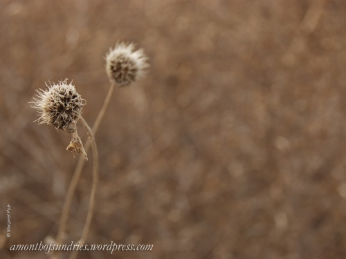 Spiky, dried flower stalks with the winter sun on them have an alien beauty.